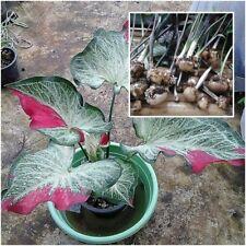 Caladium 1 Bulb Queen of the Leafy Plants ''Chaichon'' Colourful Tropical
