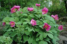 Peony Caucasian (Paeonia caucasica) 10 seeds