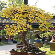 Maidenhair Ginkgo Biloba Tree Bonsai 20 Seeds Local Farmer Japanese Bonsai