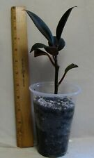 Rubber Tree Starter Plant, Ficus Elastica, Great House/Container/Bonsai, Tall