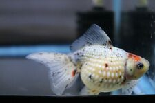 New listing Live Calico Pearlscale Male Fancy Goldfish #2 + Video In Description