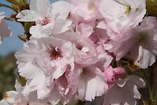 Prunus Royal Burgundy Spring Flowering Cherry Tree 12 litre  U K Grown
