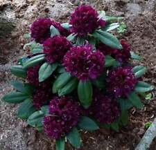 Rhododendron Polarnacht  - #3 Container Plant  - Deep, Dark Purple Blooms!