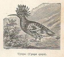 A7569 Upupa (Upupa epops) - Stampa Antica del 1931 - Xilografia