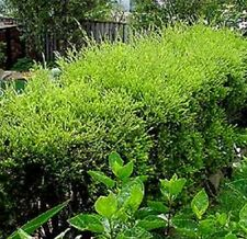 GREEN FORM Melaleuca bracteata native white flowers hedging plant in 140mm pot
