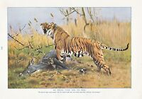 1910 Naturale Storia Double Sided Stampa ~ Ring-Tailed Lemuri/Indiano Tigre