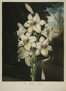 """Temple of Flora : """"The White Lily"""" (1807) — Giclee Fine Art Print"""