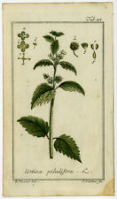 Antique Botanical Print-URTICA PILULIFERA-ROMAN NETTLE-Zorn-1796