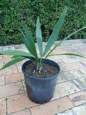 Rare - Sabel Palm Tree in 8 inch pot