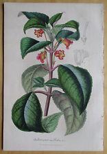 van Houtte: Garden Flowers Achimenes Ocellata * - 1847#
