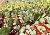 """Cactus Live Plants Rare Cacti Opuntia Dwarf Baby Rita Rooted With 2"""" Planter Pot"""