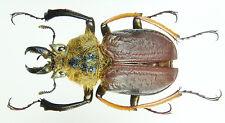 Insect - Sphaenognathus xerophilus - Peru - Male 32mm+ ....!!