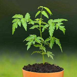 Neem, Divine Tree (Azadirachta indica) 8 seeds