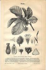 Stampa antica botanica FAGGIO Beech Buche Fagus sylvatica 1890 Old antique print