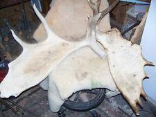 Moose Antler set, Paddle, Largest deer