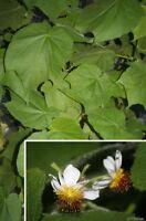 Zimmerlinde schnellwüchsig immergrün anspruchslos Büropflanze Pflanzen für drin