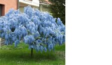 10 Blue Wisteria Tree cuttings Free Shipping L@@K