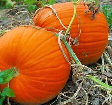 Pumpkin CONNECTICUT FIELD-Pumpkin Seeds-JACK O'LANTERN TYPE-20 SEEDS