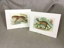 Antique Wild Animal Cat Prints Victorian Leopard Desert Cats Ca. 1896