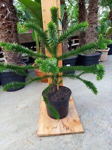 Araucaria Araucana Schmucktanne Chilenische Tanne Pflanze 80-90cm Versand:15.10.