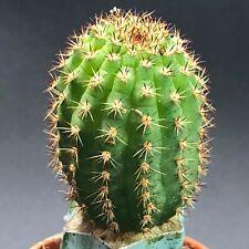 1530. Cleistocactus cv. Nolle 2 / RARE CACTUS lithops CAUDEX