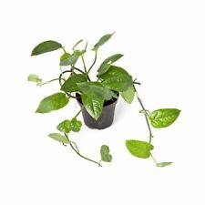 Philodendron spec. Kolumbien RARITÄT Monstera RARE Topf Terrarium Zimmerpflanze