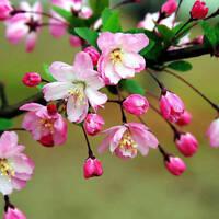 100x Rare Begonia Flower Seeds Garden Chaenomeles Speciosa Plant Bonsai Seeds