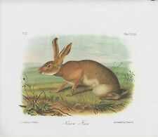 "1989 Vintage ""TEXAN HARE"" A LOVELY AUDUBON MAMMAL COLOR Art Plate Lithograph"