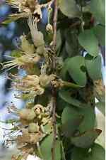 BEAN TREE,5 FRESH SEEDS,Bauhinia gilva,Bush Tucker,Fruit Tree,Spice,Herb,Native