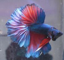 New listing live betta Tropical Betta Fish-turquoise red dragon Rosetail halfmoon betta B5