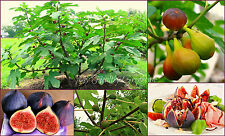 "SEEDS–Self-Pollinating, Easy Grow, Very Hardy ""Chicago Hardy"" Fig Zone 5!"