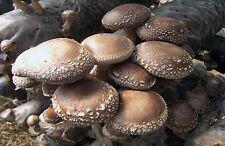 10 gr Seeds Spores SHIITAKE hoang-mo Lentinus JAPANESE mushrooms Mycelium