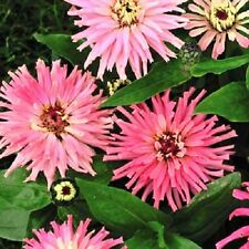 New! 30+ Giant Pinca Pink Cactus Zinnia Flower Seeds / Long Lasting Annual