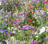 Cottage Garden Bee & Butterfly Perennial Plant Mix Wild Flower Seeds 15g - 200g