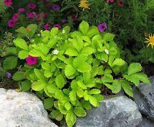 20 X Strawberry Golden Alexandria, Alpine variety , Bare Root Plants
