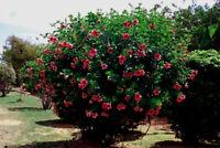 Allamanda blanchetii Red Quart Plant