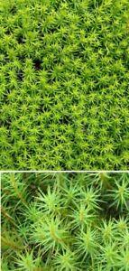 Schönes Frauenhaarmoos Sternmoos Begleitpflanze für den Garten Teichrand