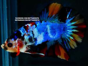 (LimitedOffer!) Premium Live Betta Fish l Male Nemo Marble Plakat