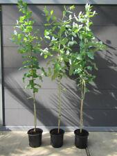 eukalyptus b ume g nstig kaufen ebay