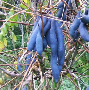 Decaisnea fargesii - Blue Bean Shrub Plant in 9cm Pot