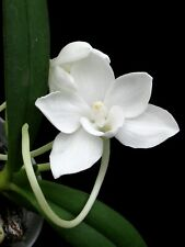 Angraecum Monticola Orchid Vandaceous Species Near Blooming Size Plant