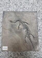 KEICHOUSAURUS hui 100% Guaranteed Genuine!! Dinosaur Fossil!! Rare Dorsal View!