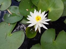 Water Lily plant white Flower x 4 wholesale price aquatic ponds Dams