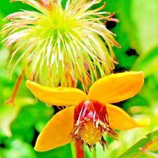 Clematis tangutica seeds flowers organic Perennial from Ukraine