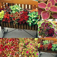 100pcs Mix Color Rainbow Blumei Seeds Flower Leaf Plant Garden Bonsai Foliage Z