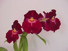 "Miltoniopsis Bert Field 'Leash' Am/Aos, Pansy Orchid Plant In 3"" Pot"