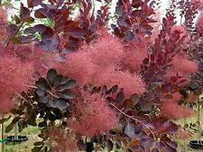 SMOKE TREE SEEDS COTINUS COGGYRIA GARDEN FLOWERING SHRUB SMALL TREE 10 SEED PACK