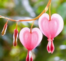 Perennial Herbs Dicentra Spectabilis Flower Plant Bleeding Seed Pink 10pc