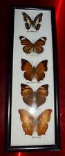 Ancien Cadre papillon naturalisé taxidermie Tiger Jay Yeoman Cruiser koh I Noor