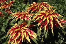TRICOLOR AMARANTHUS PERFECTA Summer Poinsettia Amaranth Flower (10 seeds) F-021